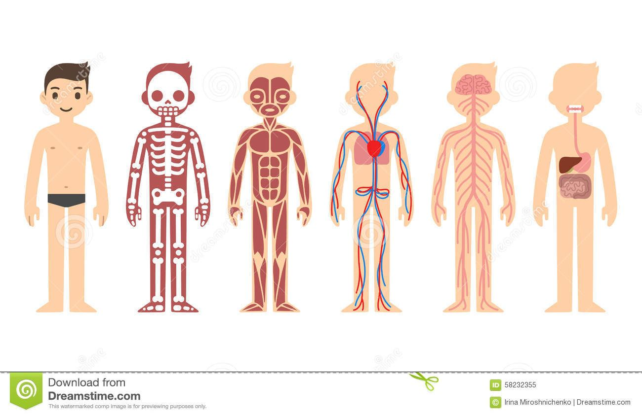 Image Result For Kids Anatomy Chart Worth Saving Pinterest