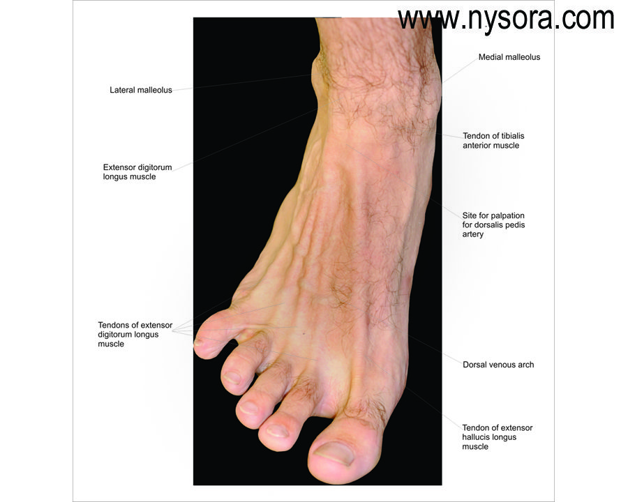 Surface Anatomy Of The Foot Google Search Feet Pinterest