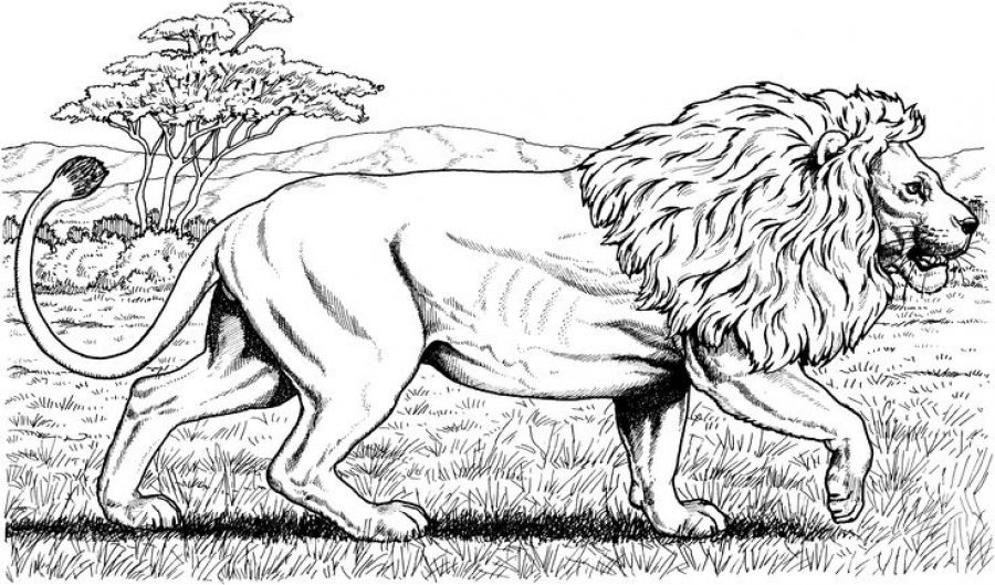 Free Printable Realistic Lion Coloring Pages For Grown Ups Letscolorit Com Lion Coloring Pages Animal Coloring Pages Cat Coloring Page
