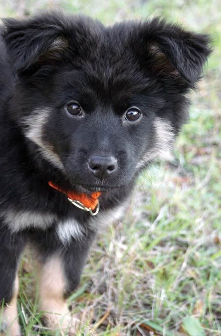 Beautiful German Shepherd X Border Collie Together With Chewy The Quot Shollie Quot Puppy Puppy Breeds Dogs And Puppies German Shepard Puppies
