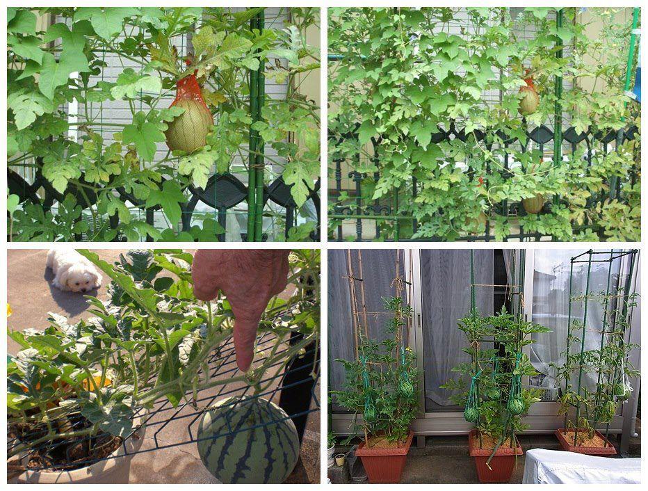 Watermelon In Small Space Garden