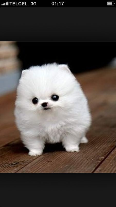This Is Mamu Carolina S Dog She Is Small And Puffy She Is Three