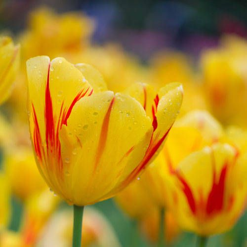 The secret meanings behind your 30 favorite flowers yellow tulips yellow tulips mightylinksfo
