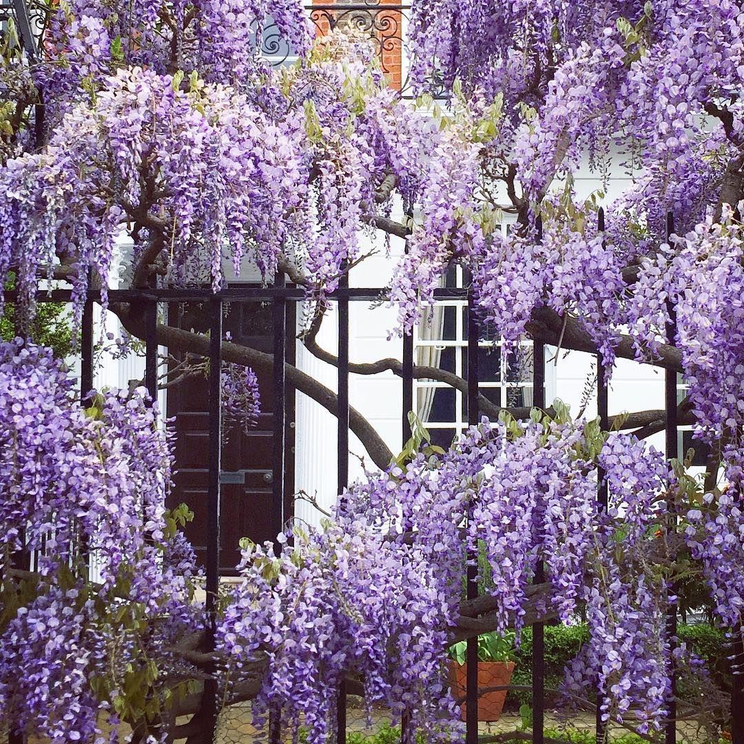 Wisteria Chelsea Physic Garden London England By Philippa Stanton 5ftinf On Instagram Wisteria Instagram Garden