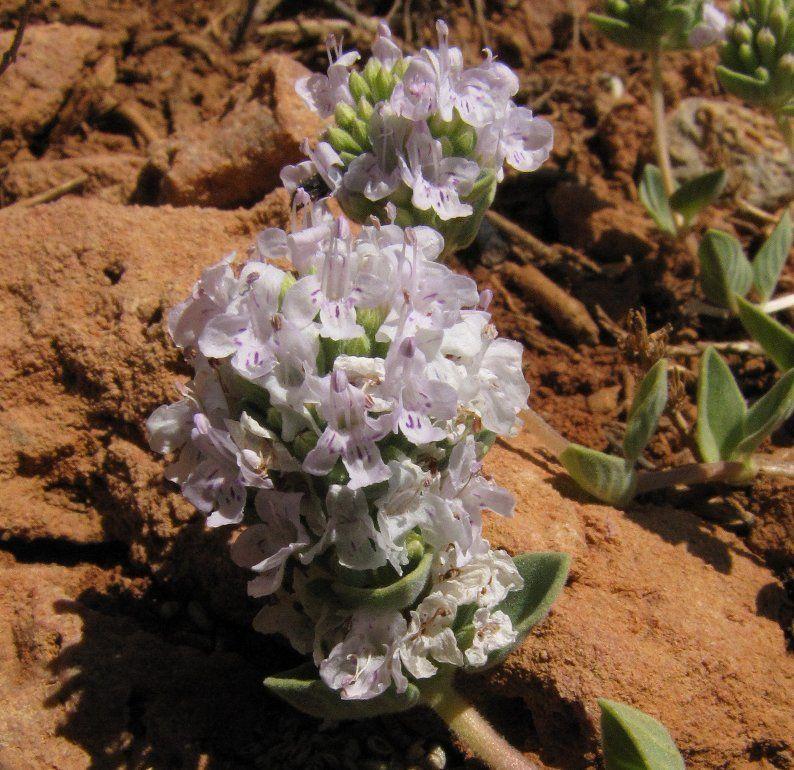 Ziziphora clinopodioides (chamaephyte, herbal tea)