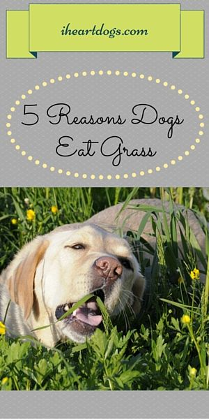 5 Reasons Dogs Eat Grass Dogs Eating Grass Dogs Dog Remedies
