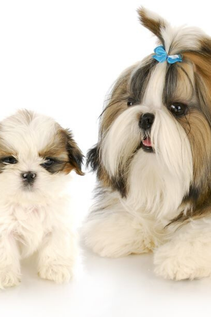 Shih Tzu Mother And Puppy With Refection On White Background Shihtzu Shih Tzu Shih Tzus Puppies