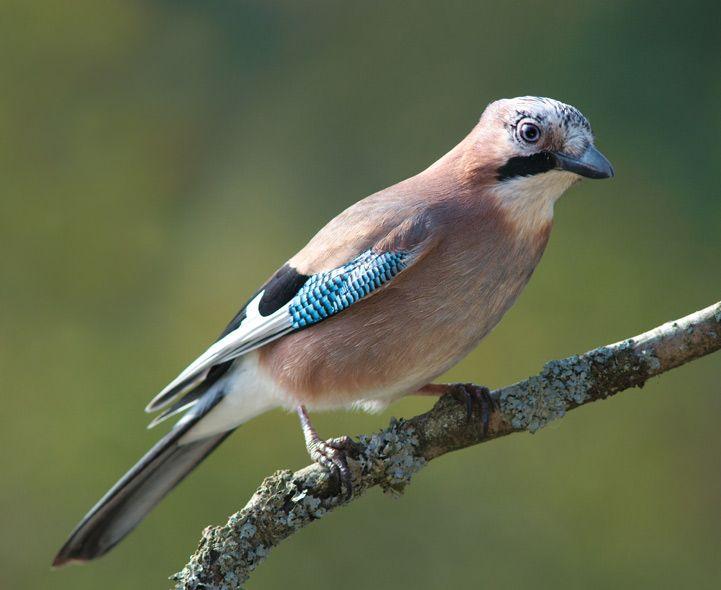 British garden birds - Jay