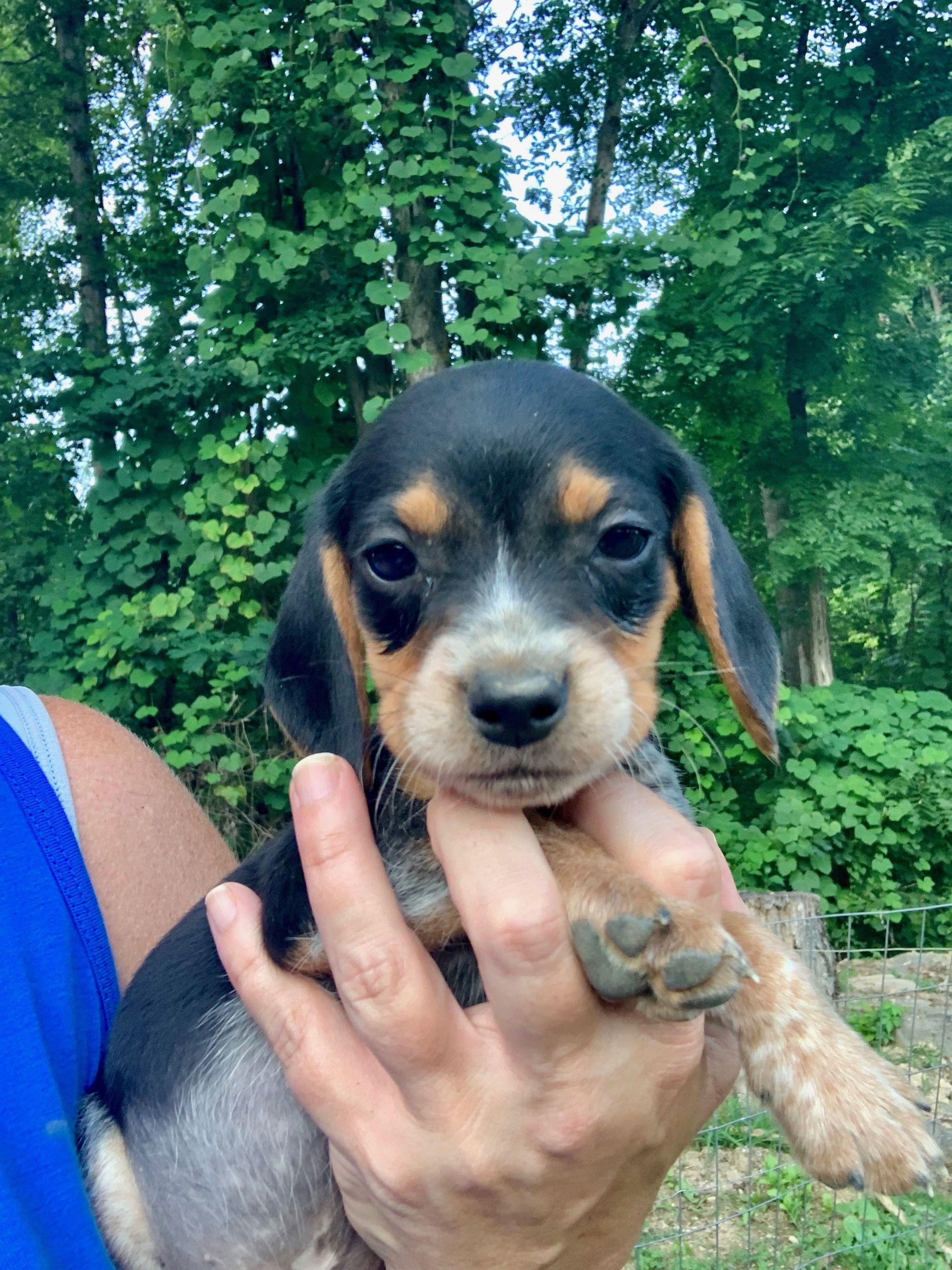 Breed Beagle Gender Male Registry Akc Personality Playful Date