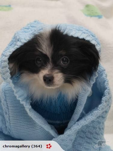Absolutely Beautiful Puppies Trade Me Papillon Dog