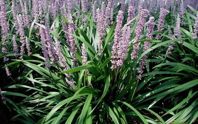 Home > Groundcover Plants > Lily Turf - Liriope > Emerald Goddess Liriope -  Lilyturf