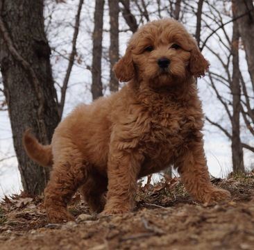 Goldendoodle puppy for sale in WARSAW, IN. ADN69976 on