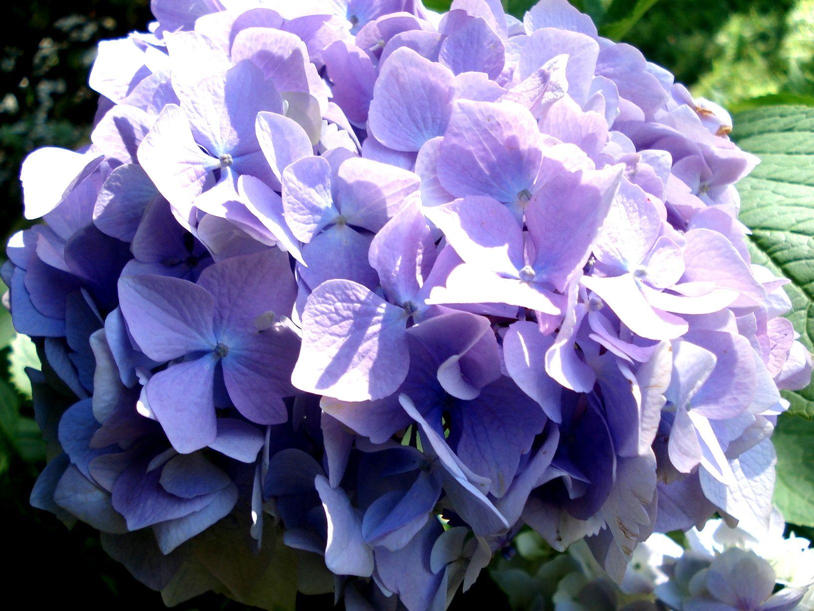 Lilac hydrangia