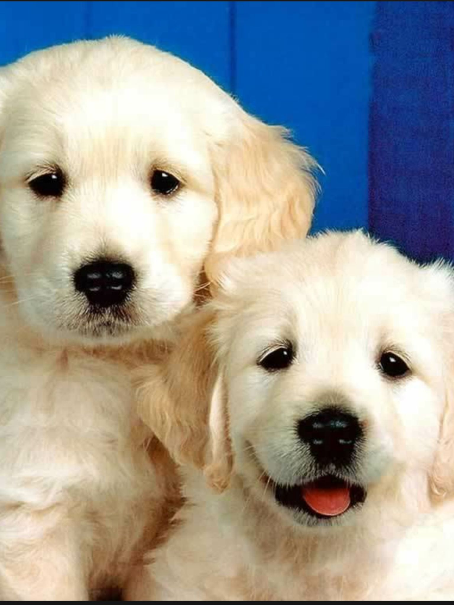 Cute golden retriever puppies dogs cats etc pinterest