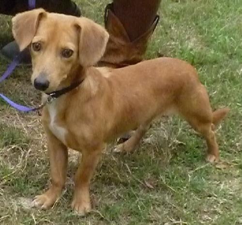Adopt Elvis On Dachshund Mix Cute Animals Animals