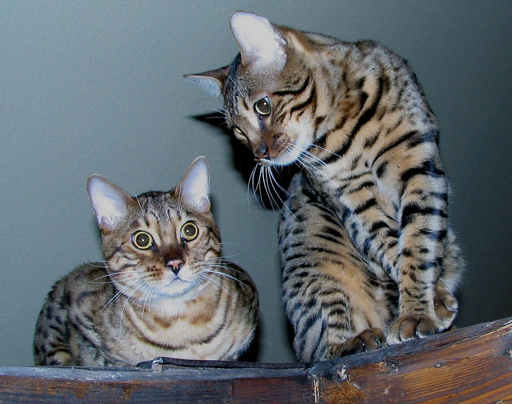 Bengal Price range $1 500 to $5 000 Bengal cats are a hybrid of