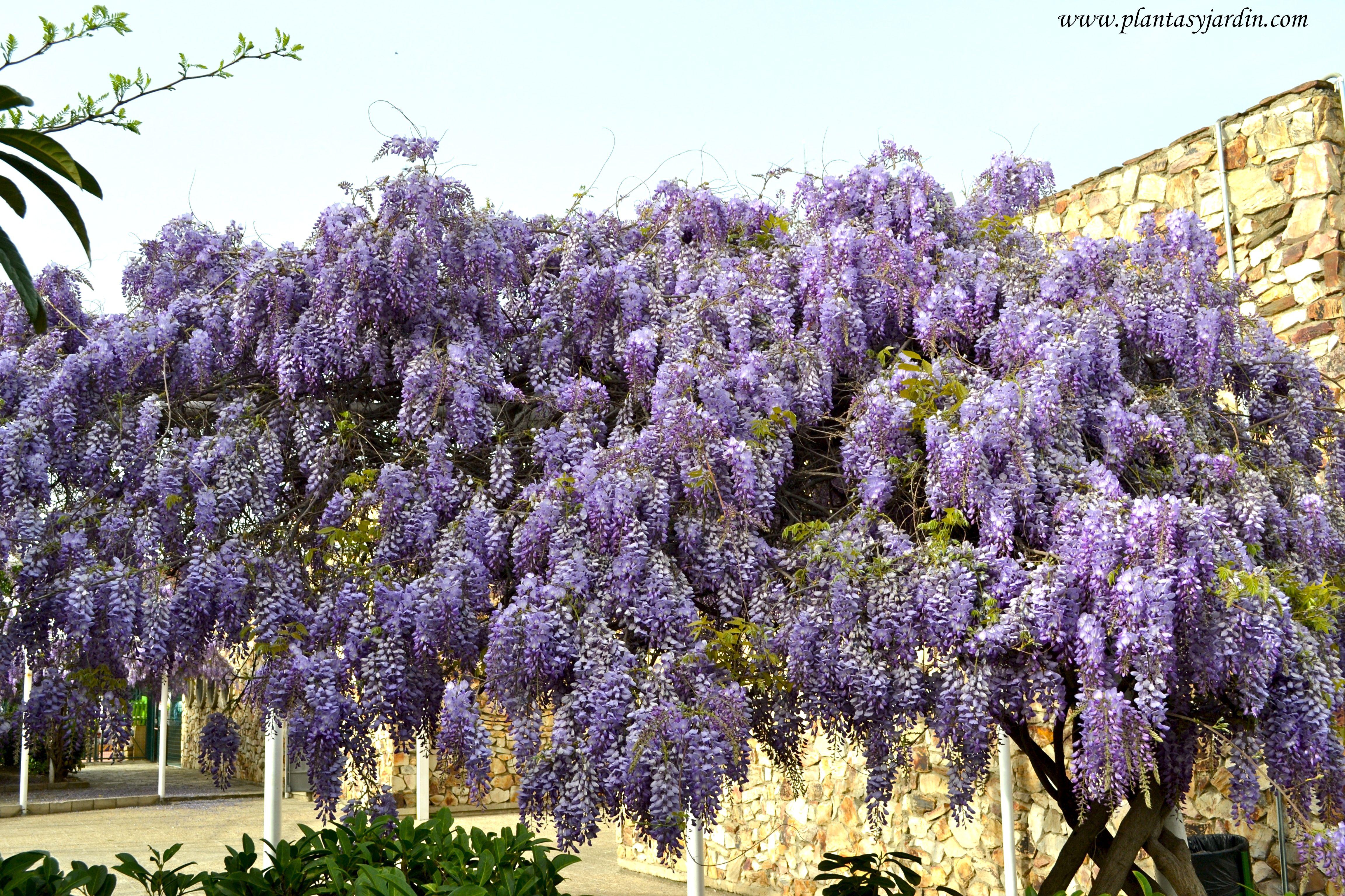 Wisteria sinensis la glicina planta con h bito de - Plantas resistentes al sol ...