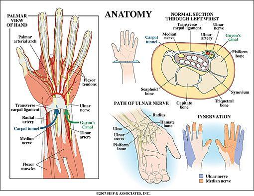 Learn about Wrist Anatomy from Dr. Pruzansky, a leading hand, wrist ...
