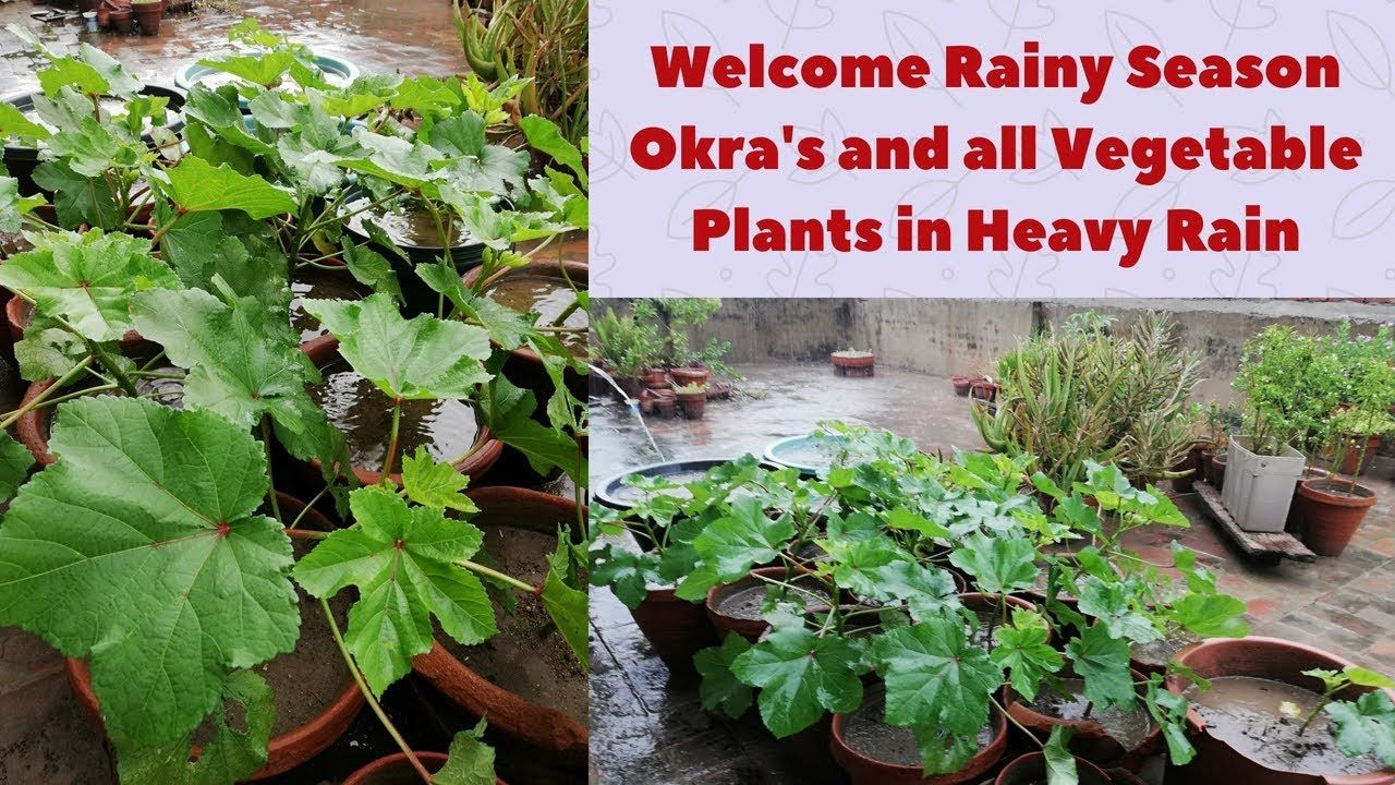 Okra And All Vegetable Plants In Heavy Rain To Welcome Rainy Season In A Planting Vegetables Plants All Vegetables
