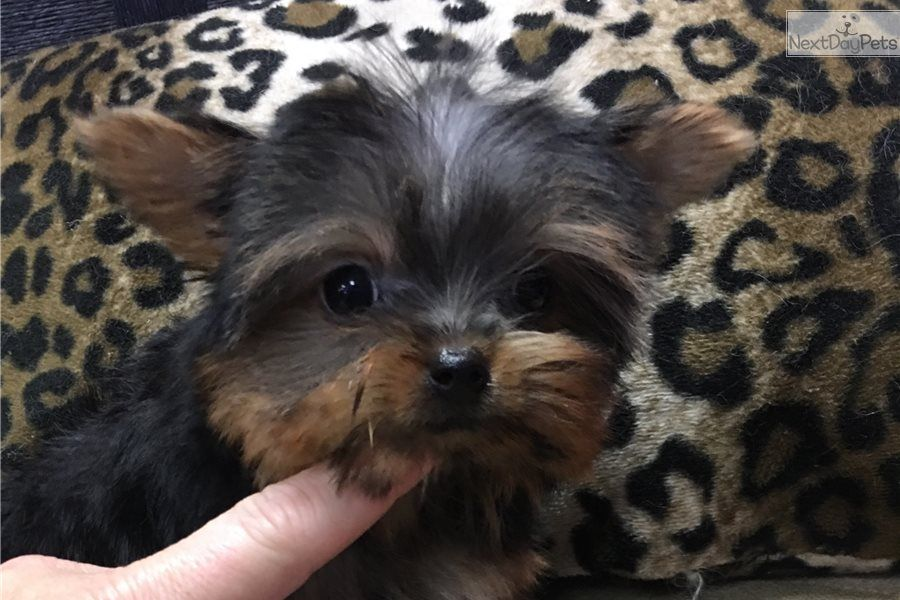 I Am A Cute Yorkshire Terrier Yorkie Puppy Looking For A Home On Nextdaypets Com Top Dog Breeds Yorkshire Terrier Yorkie