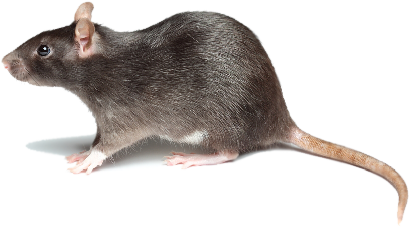 In New York rats are considered filthy creatures that