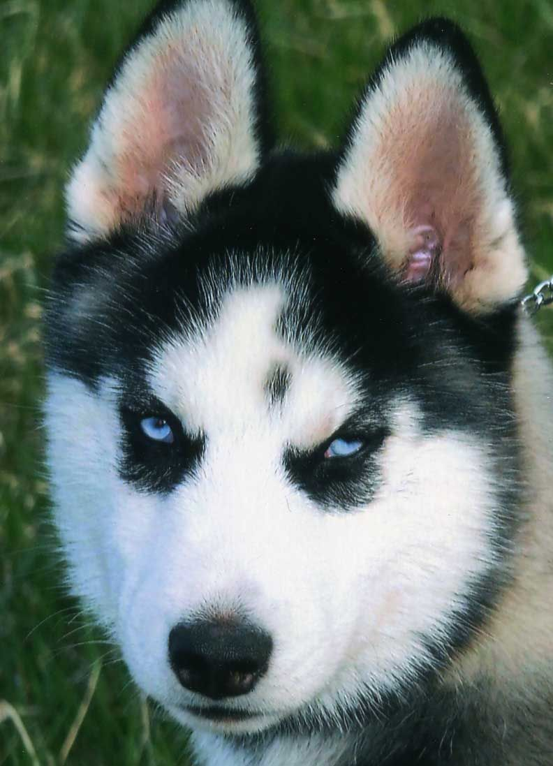 Different types of siberian huskies husky dog pictures