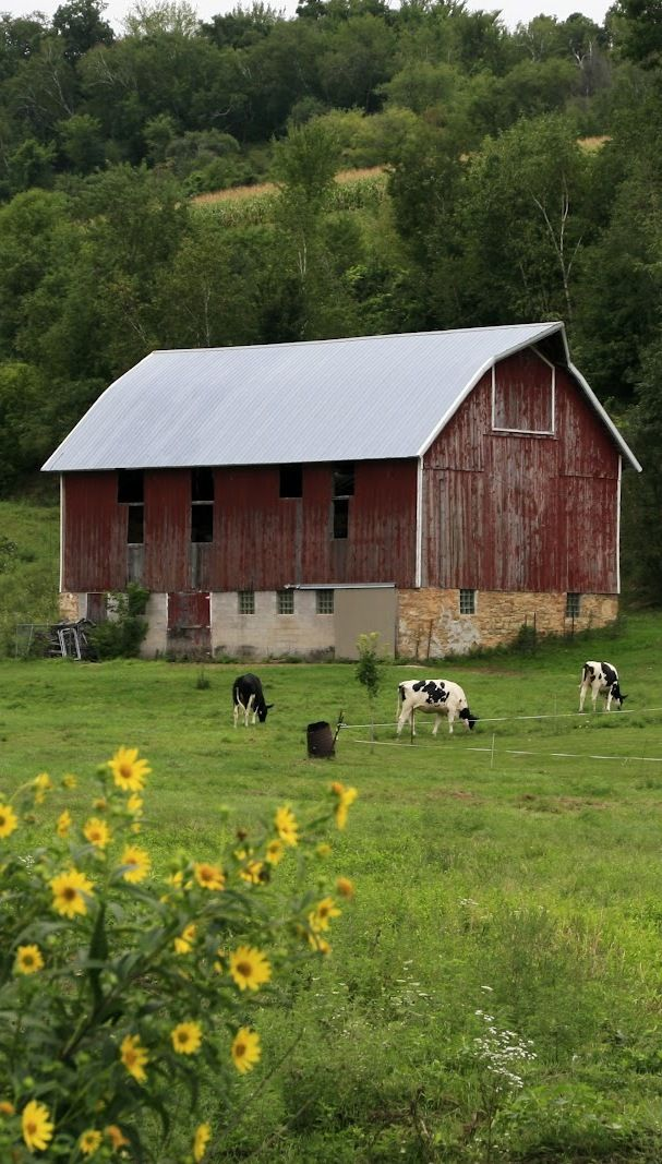 Across the road from my bedroom window was a barn and cattle