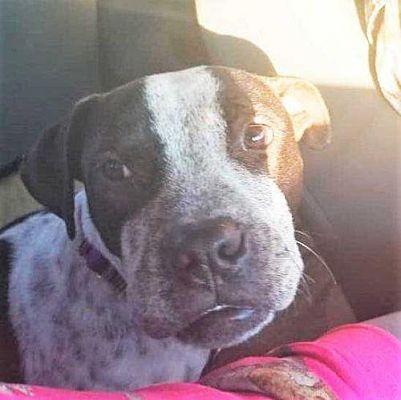 Boston, MA Boxer. Meet Magnolia a Pet for Adoption