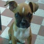 Perro Boxer Sasha