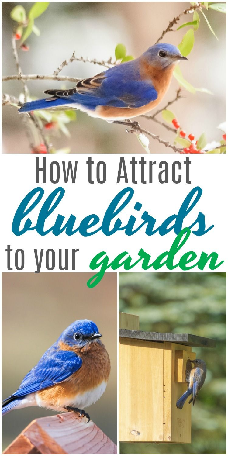 Check out these helpful tips on how to attract bluebirds ...