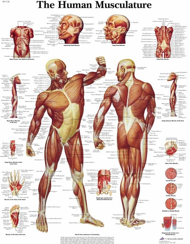 human body human muscle diagram labeled printable human muscle ...