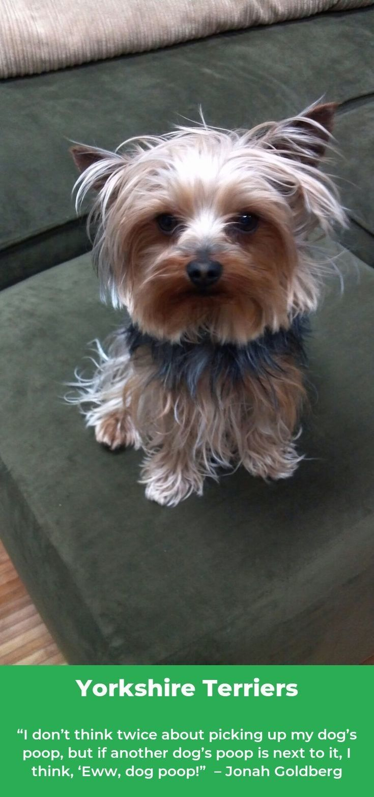 Yorkshire Terrier Energetic And Affectionate Yorkshire Terrier Cute Dogs Yorkie