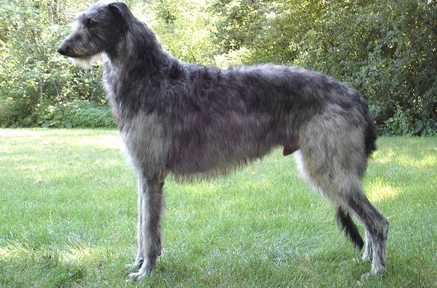Scottish Deerhound Scottish Deerhound Deerhound Dog Breeds