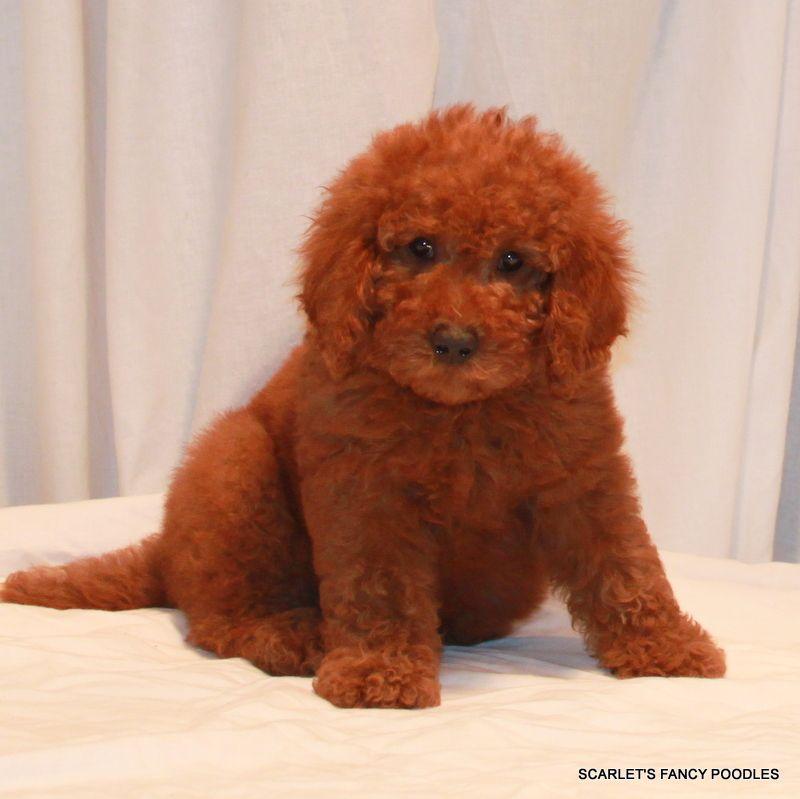 Moyen Klein Puppy Red Moyen Akc Poodles Scarlet S Fancy Cute