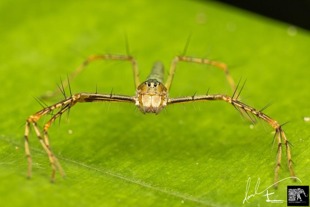 Lynx Spider - ( Hamadruas cf superba ) by Daveboy71