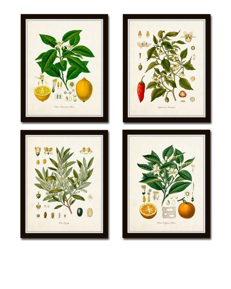 Vintage Fruit Print Set No 20 Kohler Fruit Prints Botanical Prints Vintage Botanical Art Vintage Fruit Print Set No 20 Kohler Fruit Prints Botanical Prints Vintage Botani...