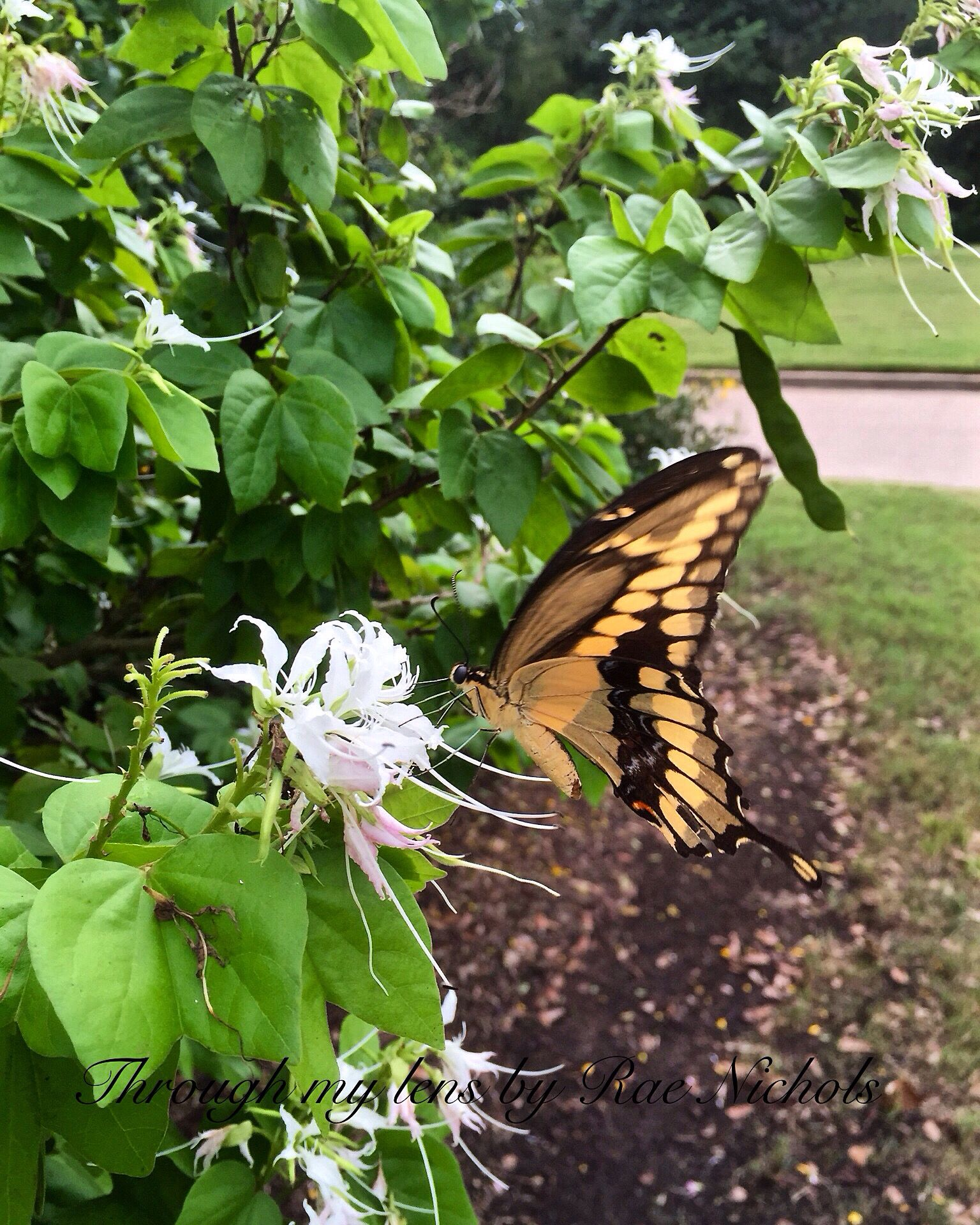 Giant Swallowtail Plants, Bloom
