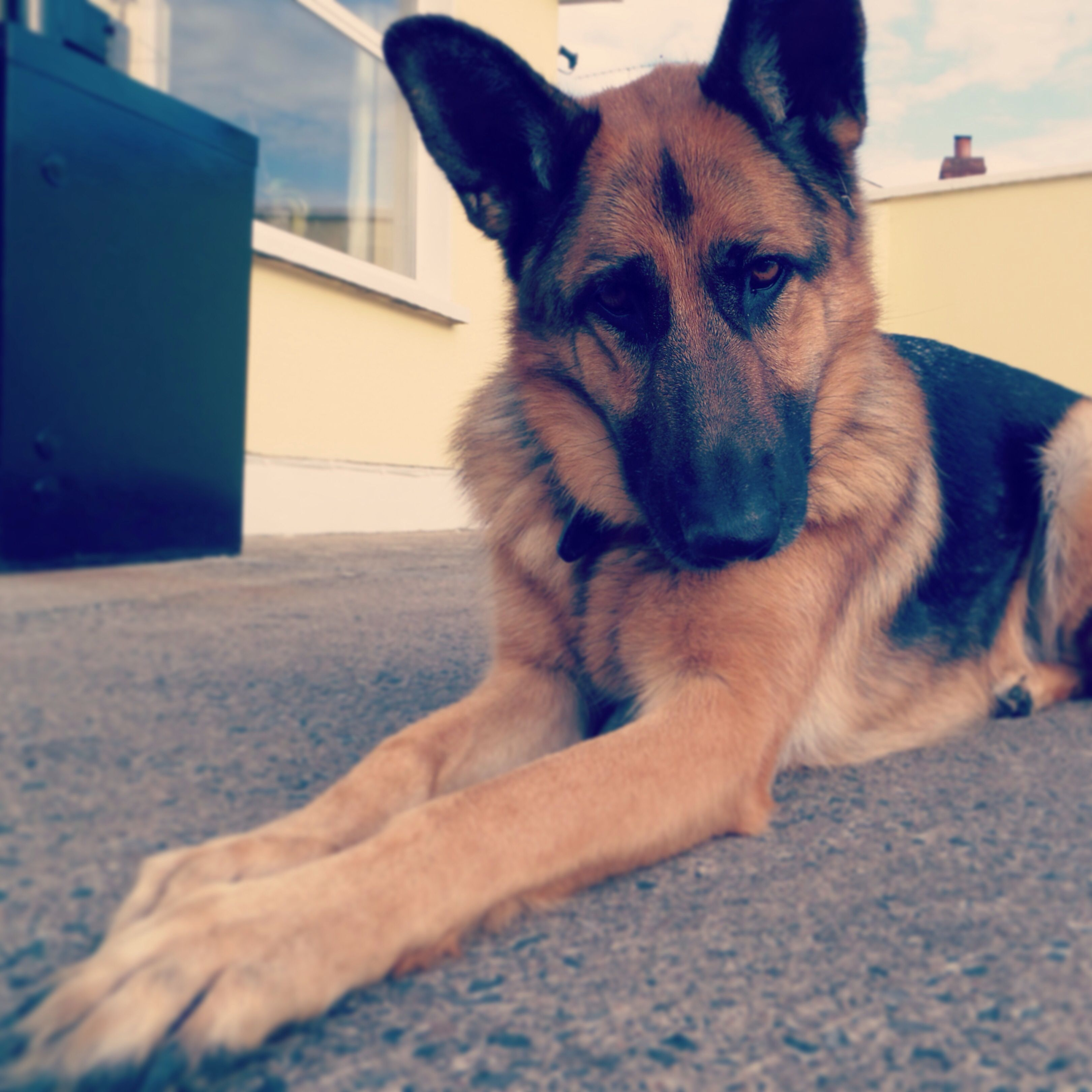 Shiloh shepherd puppies for sale in pa