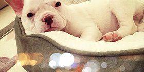 Doggy Junction Bulldogs Of Texas French Bulldog Dachshund Dogs