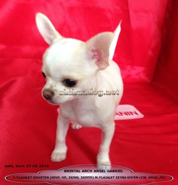 Chihuahua Shenki Prodazha Male Chihuahua For Sale Russia Fci Kennel