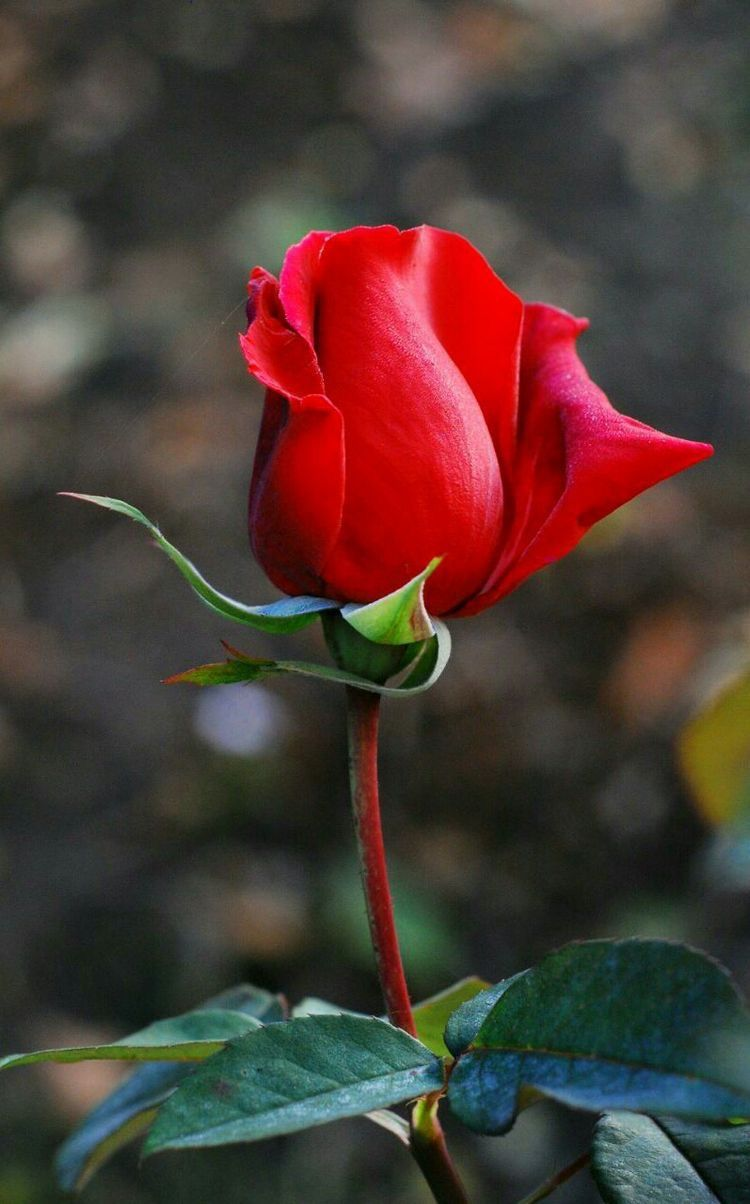 Classic red rose flowers pinterest flowers rose and beautiful classic red rose izmirmasajfo