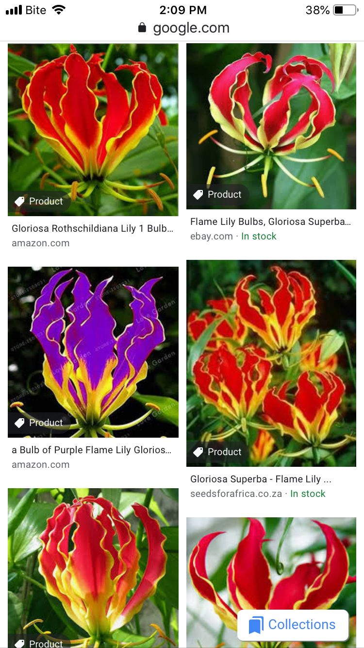 20pcs Gloriosa Flame Lily Seed Balcony Bonsai Home Garden Lily Flower Seeds New