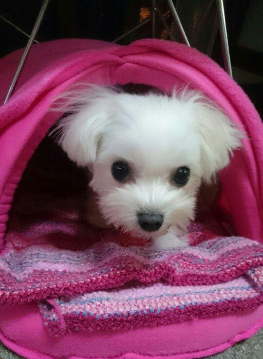 Pin von Woof Woof Puppy auf Maltese Terrier Love (mit
