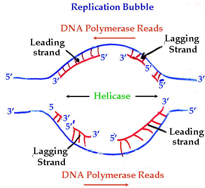 Replication bubble dna google search genetics pinterest replication bubble dna google search ccuart Images
