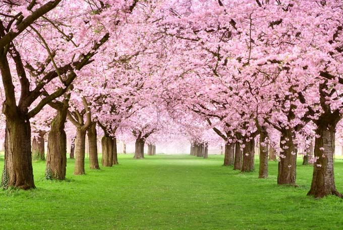 If Would Take The Better Portion Of A Day To Name Every Variety Of Cherry Tree All Of Them Lovely Flowering Cherry Tree Blossom Trees Spring Flowers Wallpaper