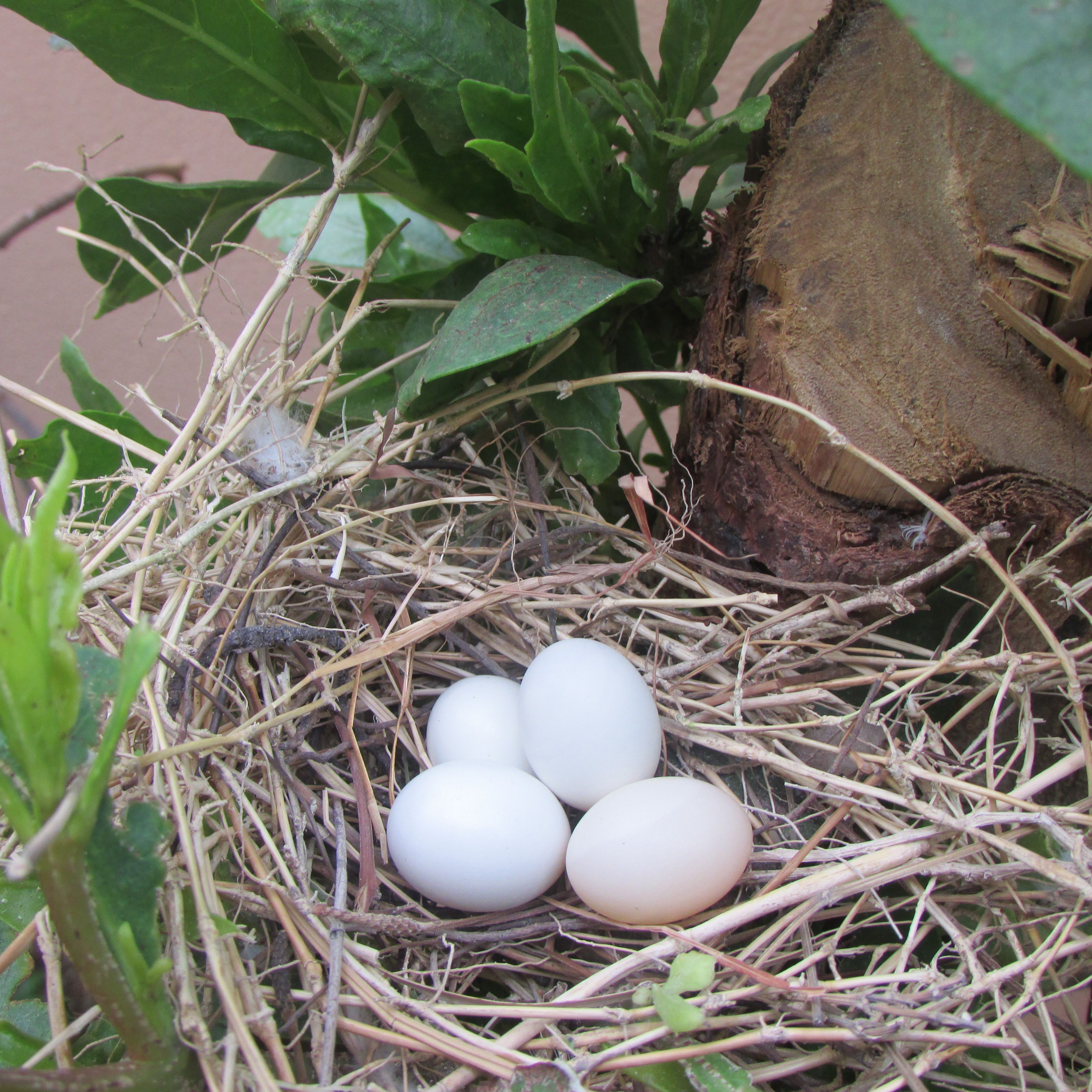 Four diamond dove eggs from two different pairs in one nest. Two eggs belong to Chicharo (blue pied male diamond dove) and Ginger (ultimate red/red female diamond dove) and the other two eggs to Cider (ultimate red/red male diamond dove) and Avena (silver female diamond dove).  Take a close look at the picture. If you can see, one of the eggs (probably the first one that was most probably laid by Ginger) is slightly red in the picture. It will hatch very soon! :D