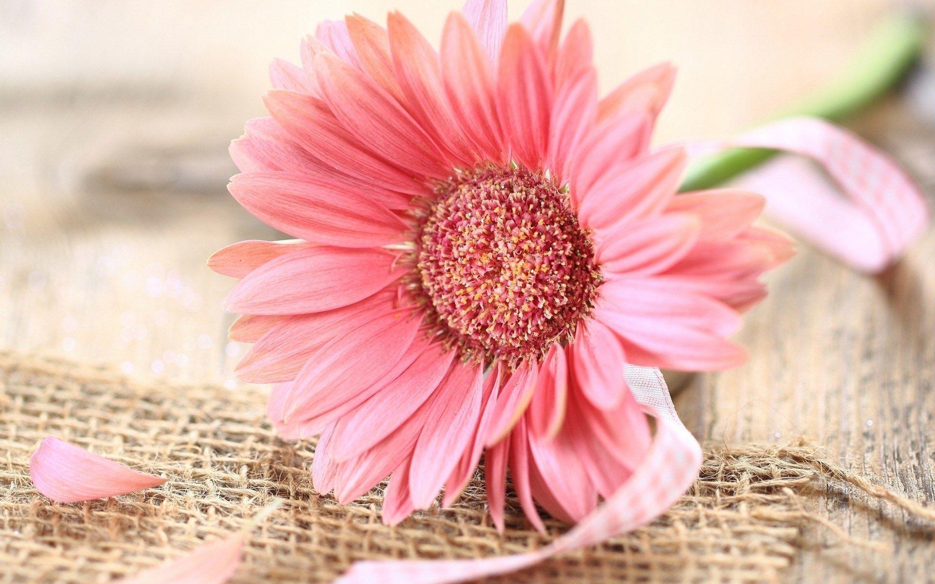 Pink Gerbera Daisy Hd Desktop Wallpaper High Definition Wallpapers