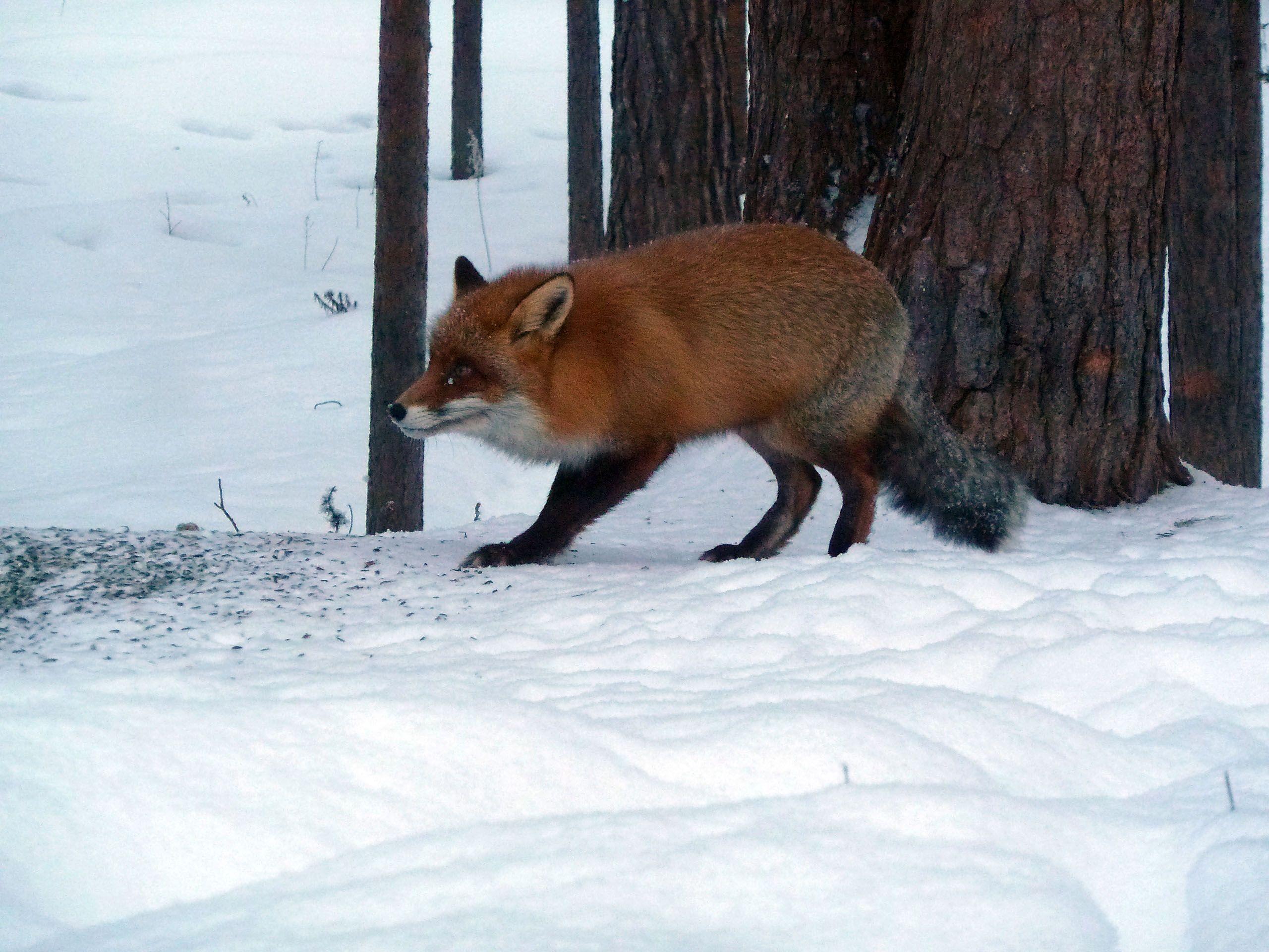 Kettu käy päivittäin kurkkimassa melkein ikkunasta sisään. Luonnon ja eläinten seuraaminen lataa akkuja ja herättää usein myös uusia ideoita. https://www.facebook.com/pages/JUSSAKKA-Oda-K/173696896121402 #luonto #nature #Lappi #Lapland