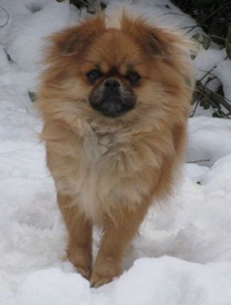 PeekAPom. half Pekingese, half Pomeranian! This could be