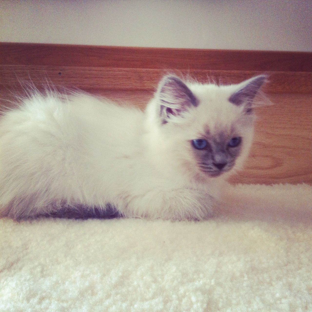 Owning A Ragdoll Cat Kittens And Puppies Pretty Cats Cats